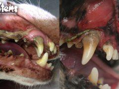 ¿Conoces la enfermedad periodontal en perros y gatos?