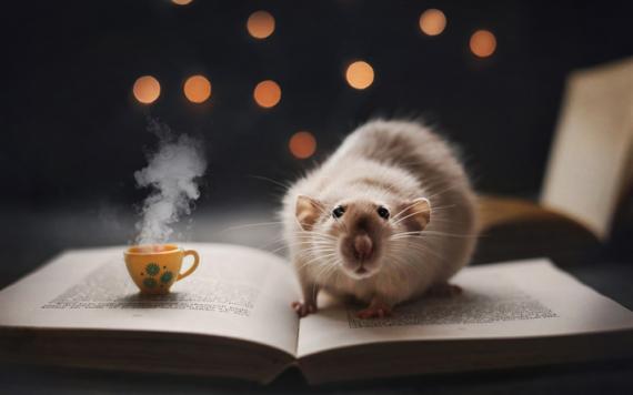 La rata, un excelente animal de compañía