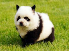 Los perros panda: la gran tendencia en China