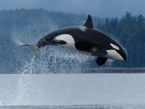 Orcas: Las Genios del Océano