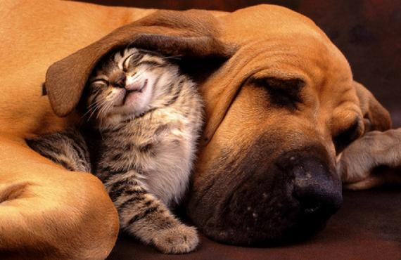 Cómo presentar a un perro con un gato